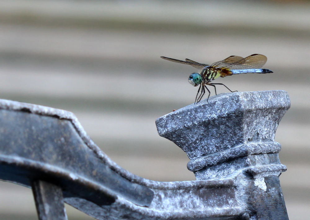 dragon fly photo